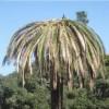 Comune si attiva per risolvere la problematica della palma attaccata dal punteruolo rosso